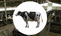 农业畜牧业奶牛饲养:建筑虚拟三维动画制作
